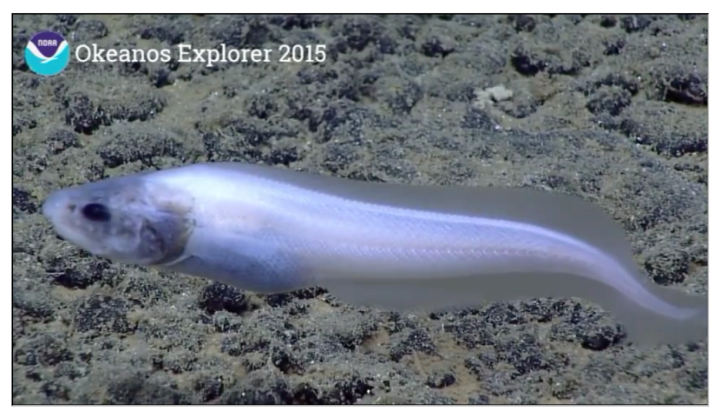 A cusk-eel (Ophidiidae) at Maro Ridge, on the deepest dive of this expedition so far